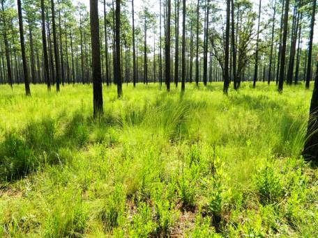 Longleaf wiregrass